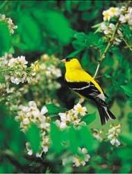 WBU American Goldfinch